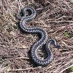 Змеиный укус