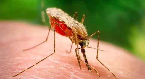 Малярия, признаки и лечение малярии